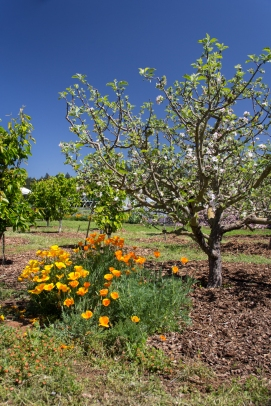 Apple tree with california poppies