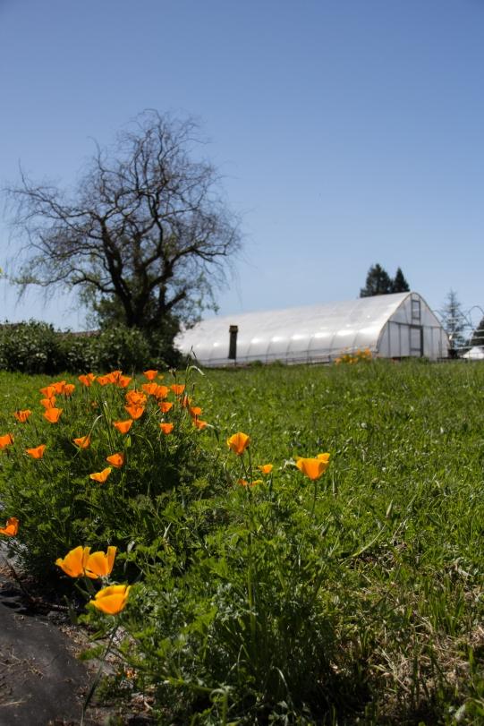Poppies at Shone Farm