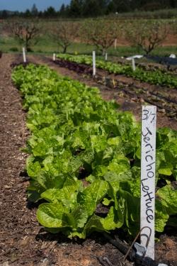 Row of Jericho lettuce