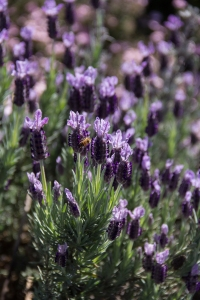 Honey bee on lavender flower